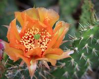 Cacto de pera espinhosa na flor Fotografia de Stock