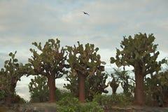 Cacto de pera espinhosa na ilha de Floreana, Ilhas Galápagos Imagens de Stock