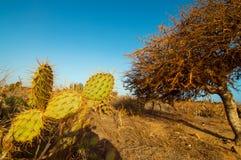 Cacto de pera espinosa Imagen de archivo libre de regalías