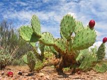 Cacto de pera espinosa de Arizonian Fotografía de archivo libre de regalías
