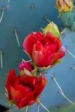 Cacto de pera espinosa floreciente Imagen de archivo