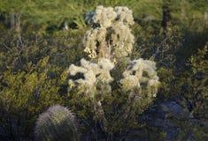 Cacto de salto do urso de peluche de Cholla, deserto do Sonora de Tucson o Arizona imagem de stock