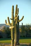 Cacto de Seguaro Fotografia de Stock