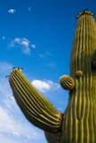 Cacto de Suguaro e skys dos azuis fotos de stock