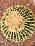 Cacto de tambor, área vermelha da conservação da rocha, Nevada imagens de stock royalty free