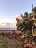 Cacto de Tenerife fotos de stock