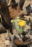 Cacto del desierto en la floración Imagenes de archivo