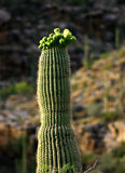 Cacto del Saguaro Foto de archivo libre de regalías