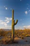 Cacto del Saguaro Imagen de archivo