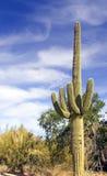 Cacto del Saguaro Imagen de archivo libre de regalías