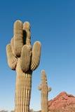 Cacto del Saguaro Imágenes de archivo libres de regalías