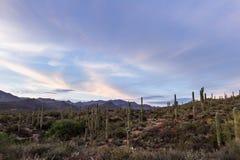 Cacto del Saguaro - brazos entrelazados Fotos de archivo