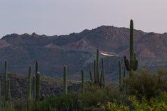 Cacto del Saguaro - brazos entrelazados Fotografía de archivo libre de regalías