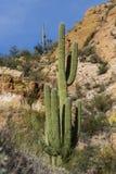 Cacto del Saguaro - brazos entrelazados Imagenes de archivo
