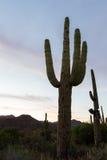 Cacto del Saguaro - brazos entrelazados Fotos de archivo libres de regalías