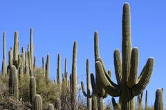Cacto del Saguaro - brazos entrelazados Foto de archivo