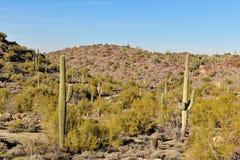 Cacto del Saguaro en desierto Fotos de archivo