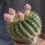 Cacto diminuto da bola de Parodia com as flores em botão cor-de-rosa fotos de stock
