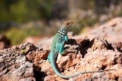 Cacto do Arizona Fotografia de Stock
