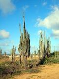 Cacto do deserto Fotografia de Stock Royalty Free