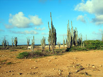 Cacto do deserto Fotografia de Stock