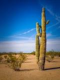 Cacto do deserto Imagem de Stock