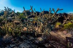 Cacto do deserto na manhã Sun Backlit Fotografia de Stock Royalty Free