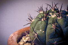 Cacto do Gymnocalycium Imagem de Stock