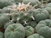 Cacto do Lophophora Fotografia de Stock Royalty Free