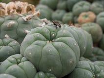 Cacto do Lophophora Imagem de Stock Royalty Free