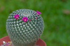 Cacto do Mammilla com a flor cor-de-rosa fresca imagens de stock royalty free