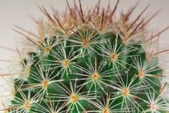 Cacto do Mammillaria Imagem de Stock