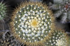 Cacto do Mammillaria, vista superior Fotos de Stock