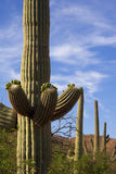 Cacto do Saguaro Foto de Stock Royalty Free
