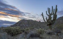 Cacto do Saguaro do Arizona no nascer do sol perto de Scottsdale, AZ imagem de stock
