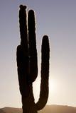 Cacto do Saguaro Backlit Fotografia de Stock Royalty Free