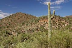 Cacto do Saguaro com paisagem do deserto Foto de Stock