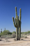 Cacto do saguaro de dois gigantes. Fotos de Stock Royalty Free