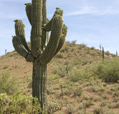 Cacto do Saguaro do deserto do Arizona fotografia de stock
