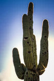 Cacto do Saguaro durante o por do sol Fotos de Stock