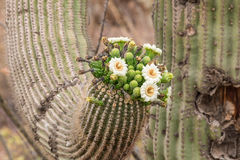 Cacto do Saguaro na flor Fotos de Stock