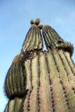 Cacto do Saguaro no acampamento do Roadrunner, Quartzsite, o Arizona, EUA fotos de stock royalty free