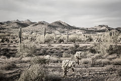 Cacto do Saguaro no deserto Imagem de Stock