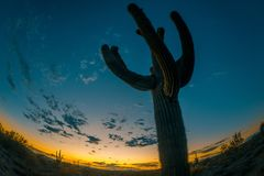 Cacto do Saguaro no deserto do Arizona no crepúsculo imagem de stock royalty free