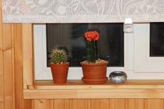 Cacto dois em um peitoril de madeira da janela Fotografia de Stock