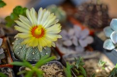 Cacto dos asterias de Astrophytum com flor amarela Fotos de Stock Royalty Free