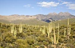 Cacto e montanhas do deserto Fotografia de Stock