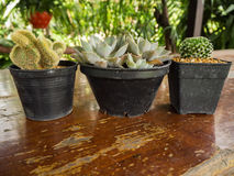 Cacto e planta carnuda Imagens de Stock