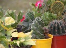 Cacto e planta carnuda Fotos de Stock Royalty Free