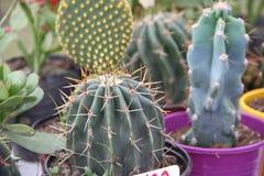Cacto e plantas carnudas Fotos de Stock